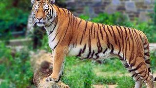 Condenado por dejar morir de hambre a un tigre en un taller