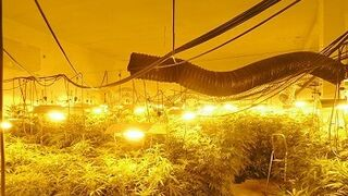 Descubren mil plantas de marihuana en un taller mecánico