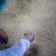 ¿Es posible fabricar piezas de coches a partir de cáscaras de arroz?